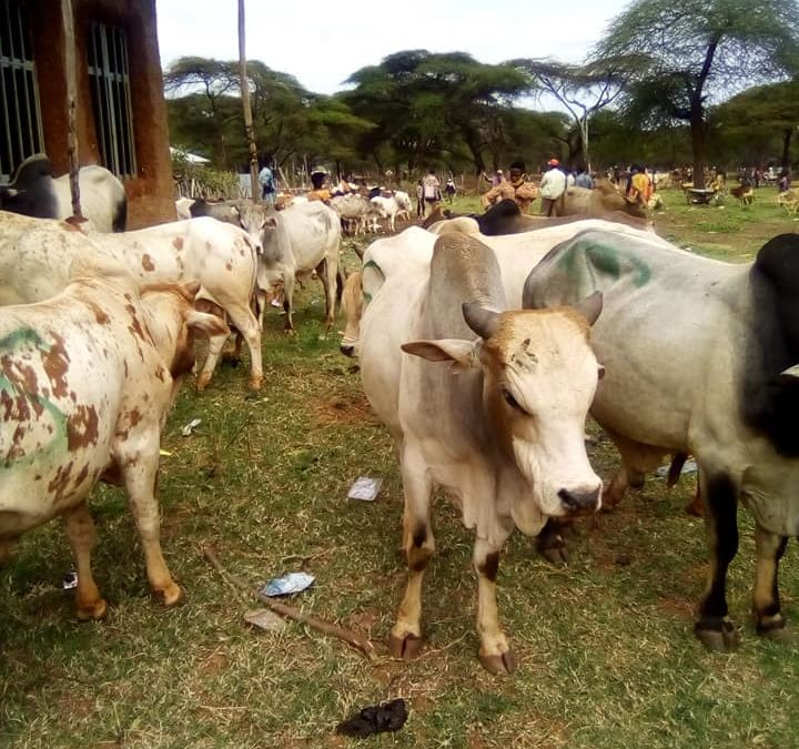 SCORE Borana Bull provision